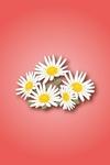 daisy01.jpg